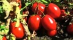HarvestDay_tomatoesThumb